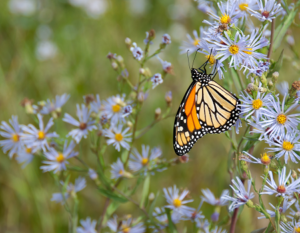 a butterfly on some blue daisies