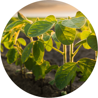 plant starch 1